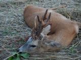 thumb Roe-Buck-Hunt-In-Poland-005